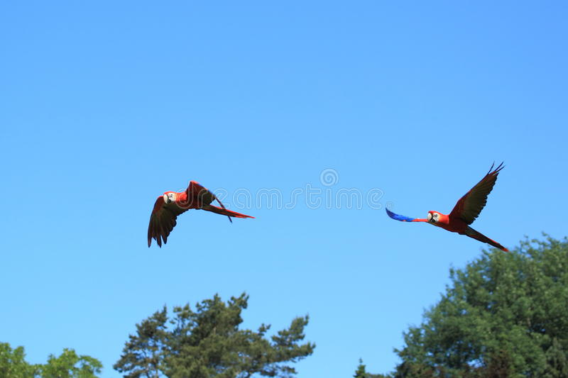 Download Couple Of Flying Scarlet Macaws Stock Image - Image of nature, colorful: 37416479