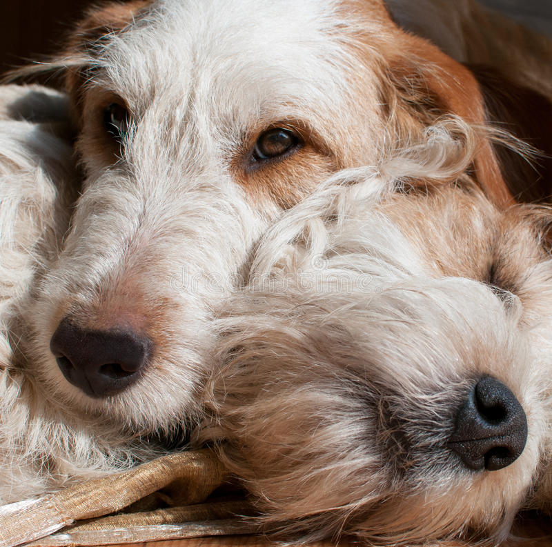 Couple fox embraced. Couple fox dog brother embraced royalty free stock image