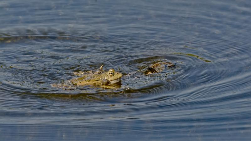 Couple of frogs mating in the pond, reflecting in the water - anura. Couple of frogs in a mating ritual, the male with inflated vocal sac in the pond royalty free stock photos
