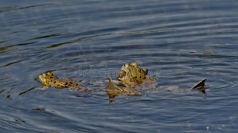 Couple of frogs mating in the pond, reflecting in the water - anura. Couple of frogs in a mating ritual, the male with inflated vocal sac in the pond royalty free stock photo