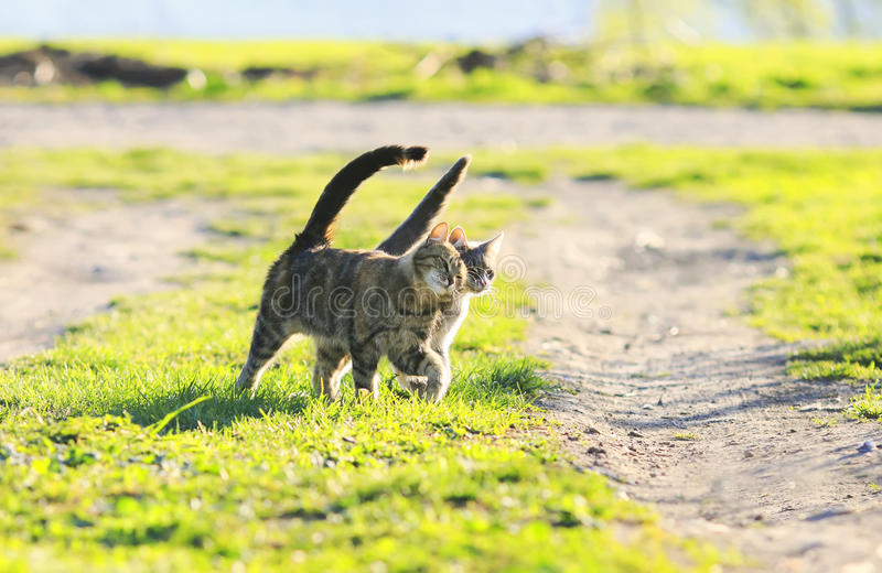 Couple funny kitten walking arm in arm at the juicy green grass royalty free stock photo