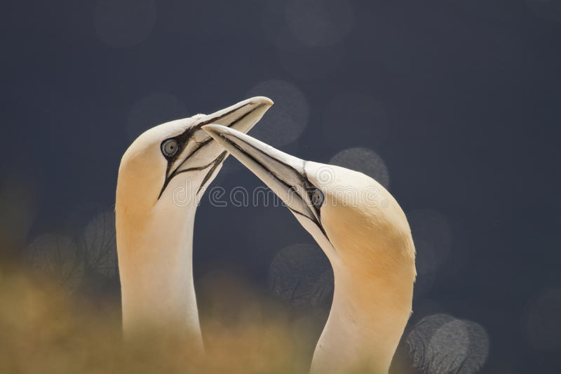 A couple of gannets stock photo