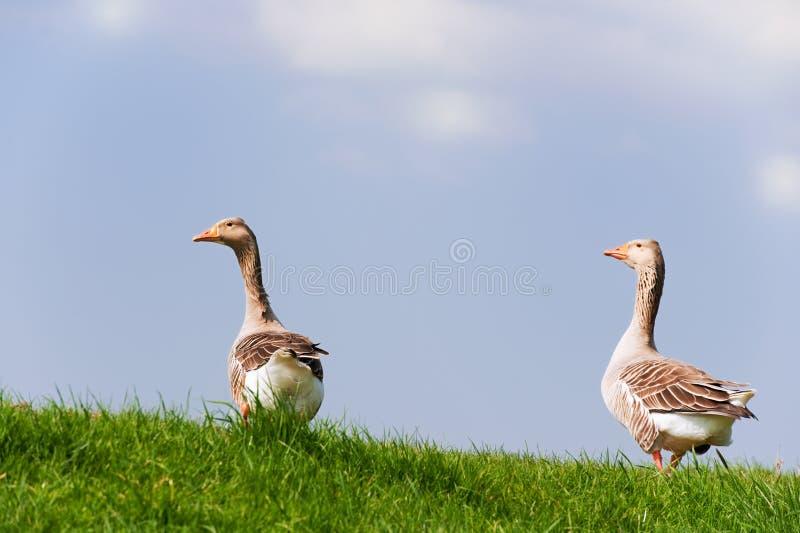 Couple gooses