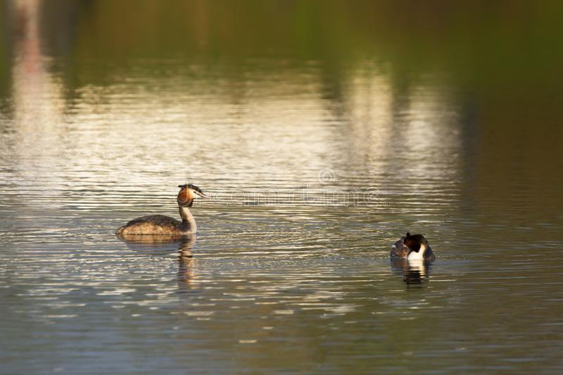 Couple of great crested grebe podiceps cristatus male and female ducks stock photos
