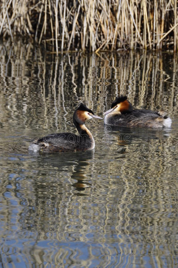 Couple of great crested grebes stock photography