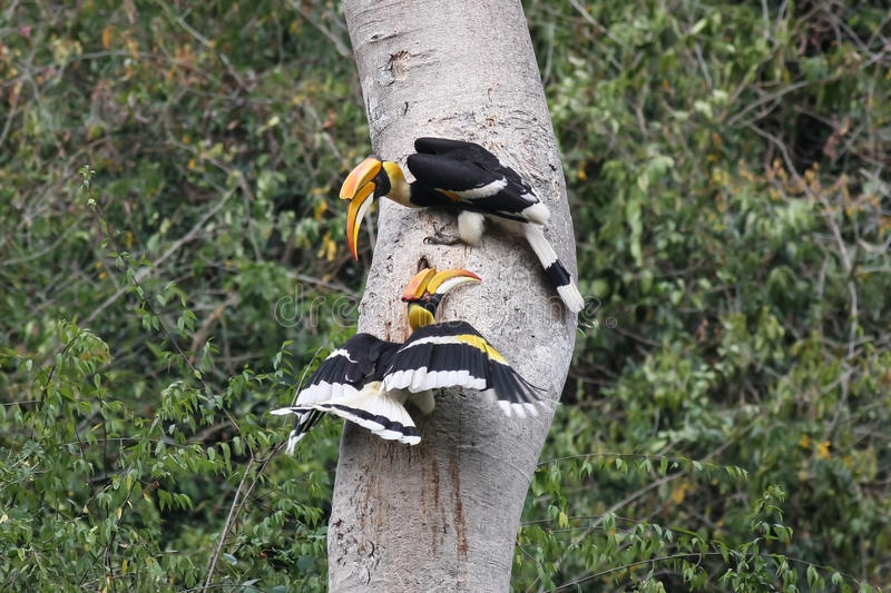 Couple of Great hornbill in nature in thewild. Couple of Great hornbill in nature, at Kaeng Krachan National Park,Thailand royalty free stock image