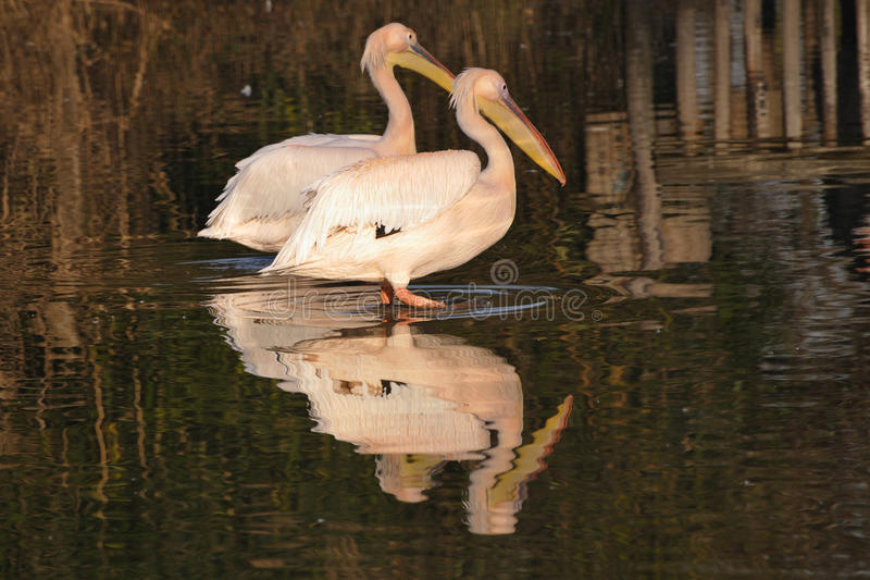 Couple Of Great White Pelicans, Stock Photos
