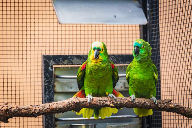 Couple of green parrots. Are sitting on branch stock image