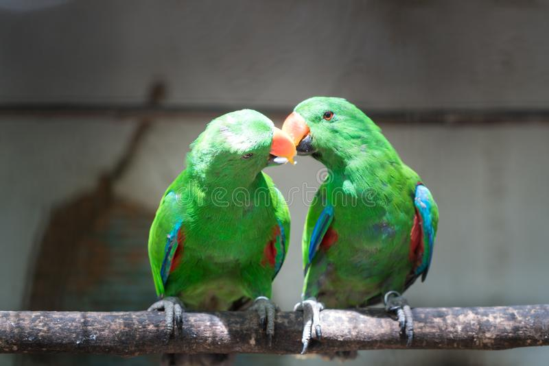 Couple of Green red Parakeet Alexandrine Parakeet parrots perching at wood branch in jungle. royalty free stock photo