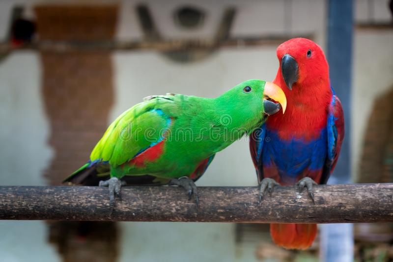 Couple of Green red Parakeet Alexandrine Parakeet parrots perching at wood branch in jungle. royalty free stock image