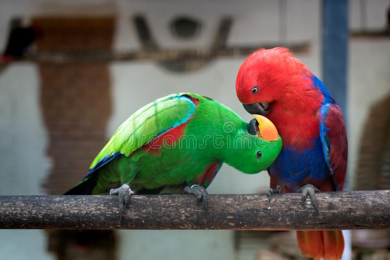 Couple of Green red Parakeet Alexandrine Parakeet parrots perching at wood branch in jungle. stock photos