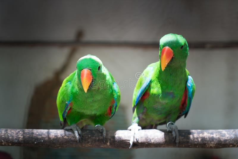 Couple of Green red Parakeet Alexandrine Parakeet parrots perching at wood branch in jungle. stock images