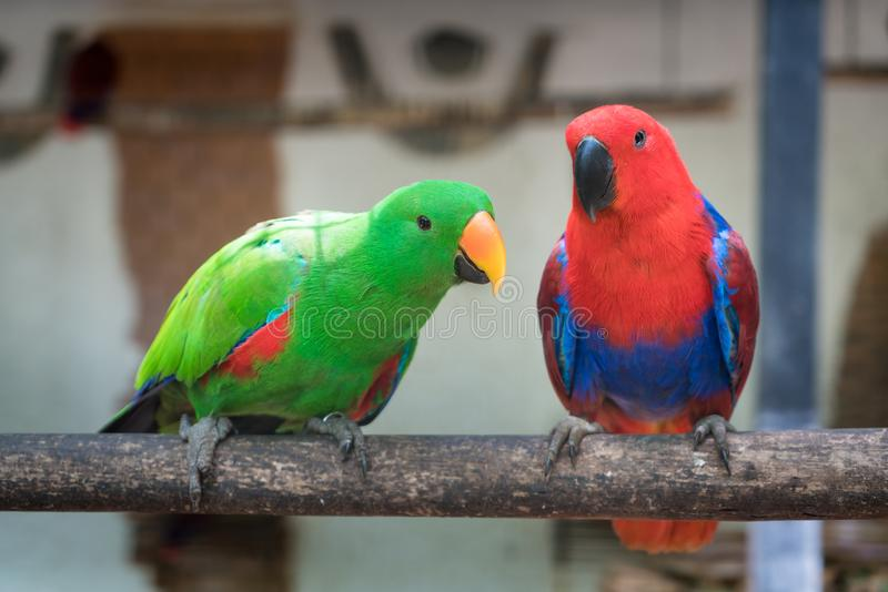 Couple of Green red Parakeet Alexandrine Parakeet parrots perching at wood branch in jungle. stock photography