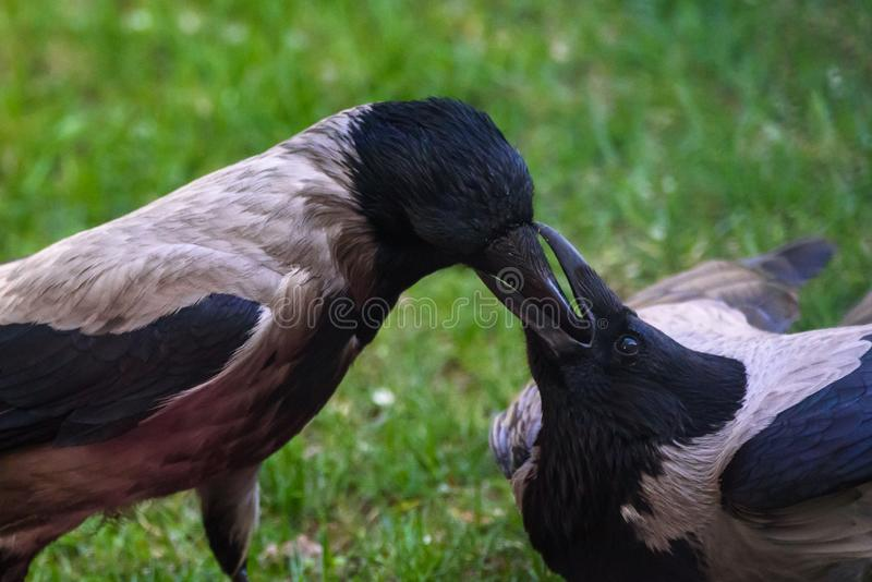 Couple of Grey crow Corvus tristis birds feeding each other royalty free stock photo