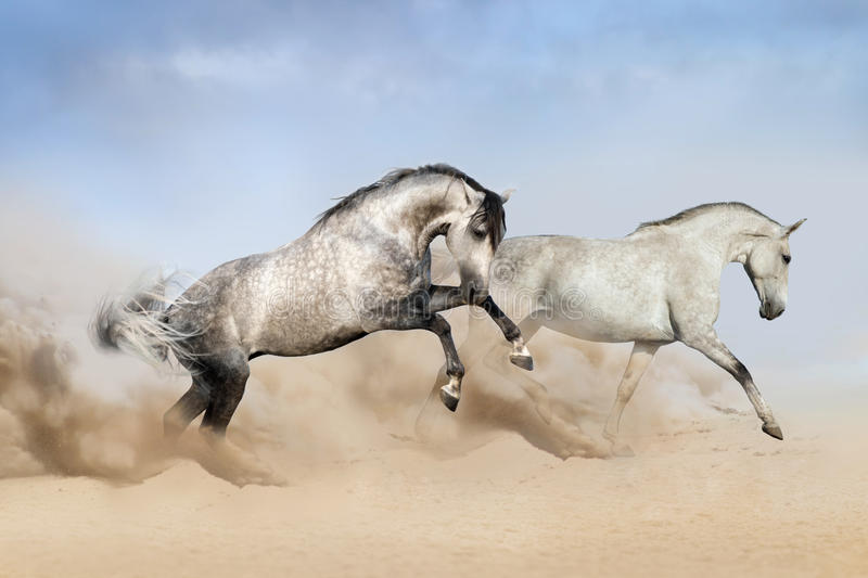 Couple of grey horse run on desert royalty free stock image