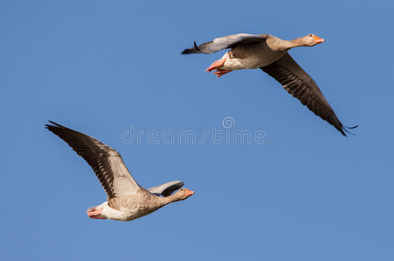 A couple of Greylag Geese stock image