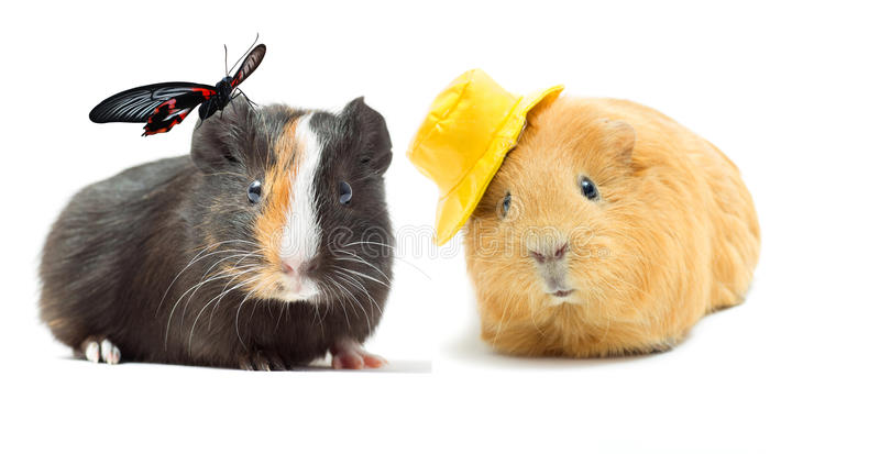 Couple guinea pigs royalty free stock photos