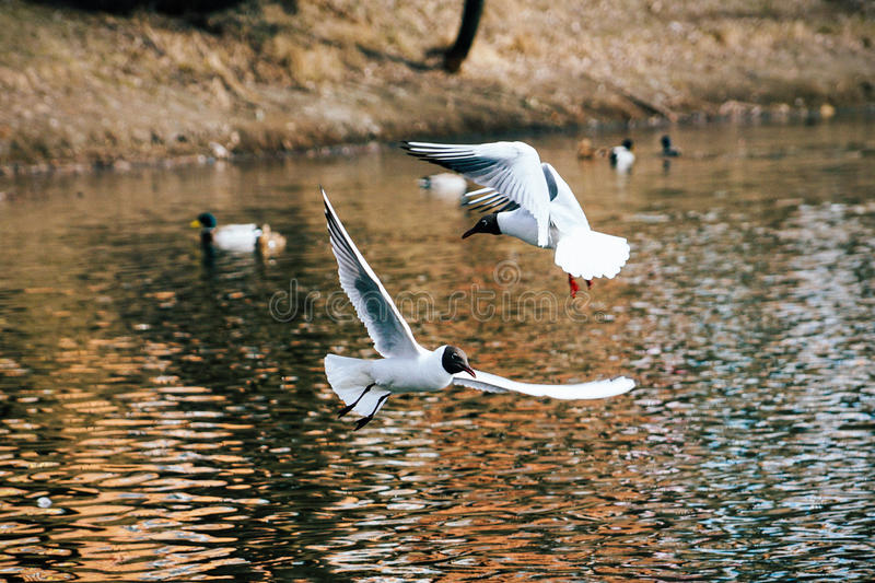 Couple of gulls stock photography