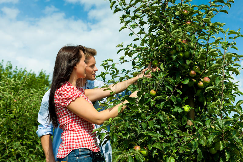 Download Couple Harvesting Apples In Summer Stock Image - Image of fresh, adult: 25271101