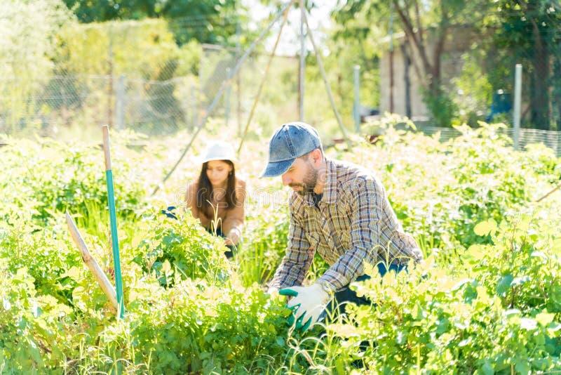 Couple Harvesting Homegrown Plants At Farm royalty free stock photo