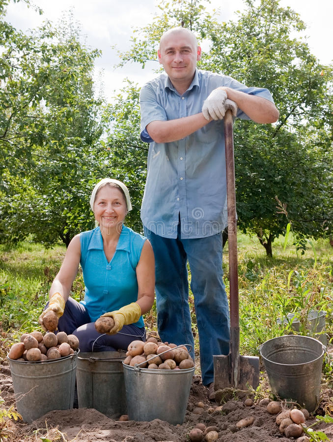Free Couple Harvesting Potatoes Stock Photo - 31883470