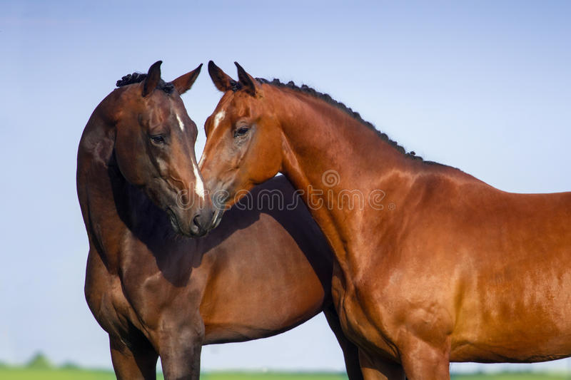 Couple horse in love royalty free stock image