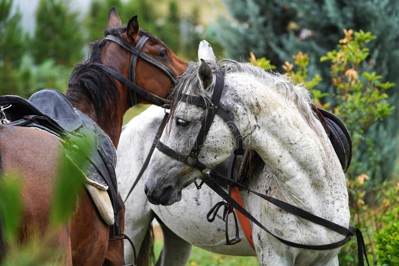 Couple of horse portrait on green field, close-up. stock images