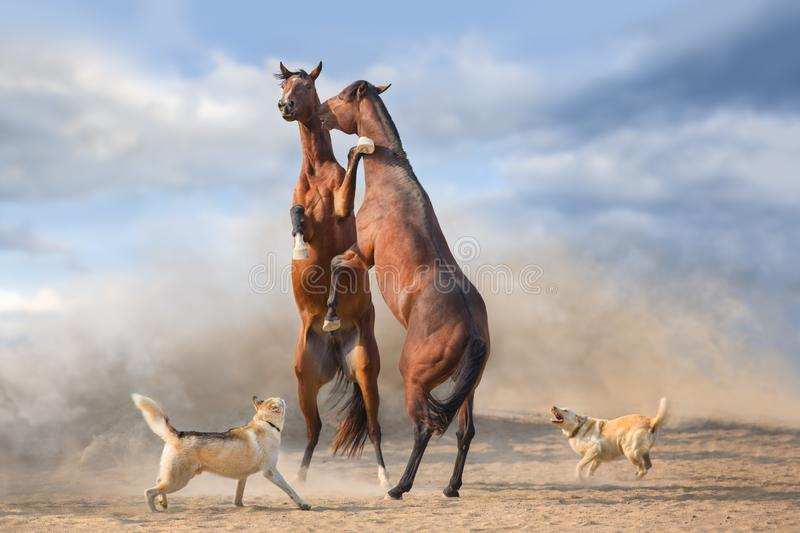 Couple of horse rearing up stock photo