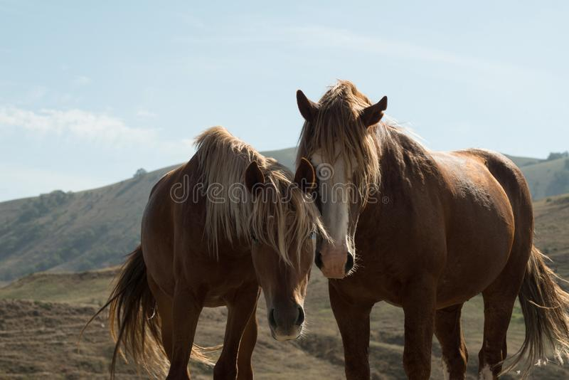 Couple of horses free in the nature stock photos