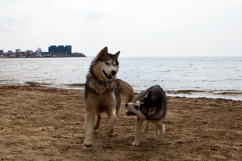 Couple of husky dogs playing on seaside royalty free stock photo