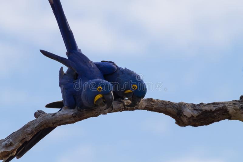 Couple of Hyacinth macaw, Brazilian wildlife. Couple of Hyacinth macaw from Pantanal, Brazil. Brazilian wildlife. Biggest parrot in the world. Anodorhynchus stock image