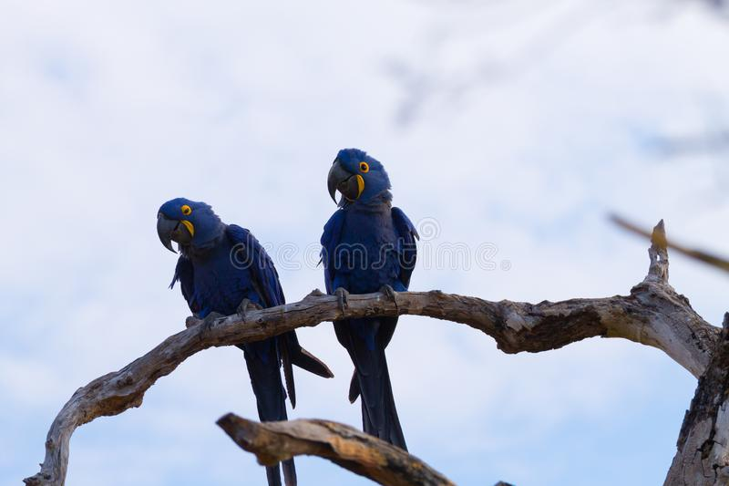 Couple of Hyacinth macaw, Brazilian wildlife. Couple of Hyacinth macaw from Pantanal, Brazil. Brazilian wildlife. Biggest parrot in the world. Anodorhynchus royalty free stock image