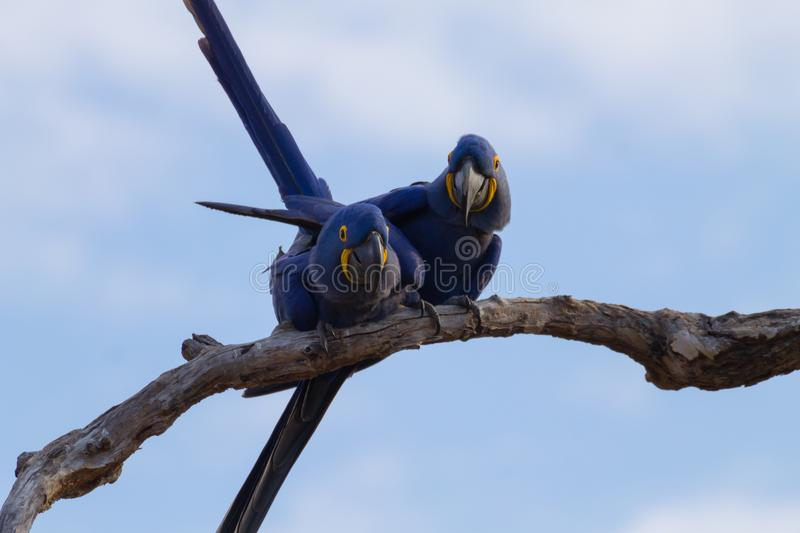 Couple of Hyacinth macaw, Brazilian wildlife. Couple of Hyacinth macaw from Pantanal, Brazil. Brazilian wildlife. Biggest parrot in the world. Anodorhynchus royalty free stock photography