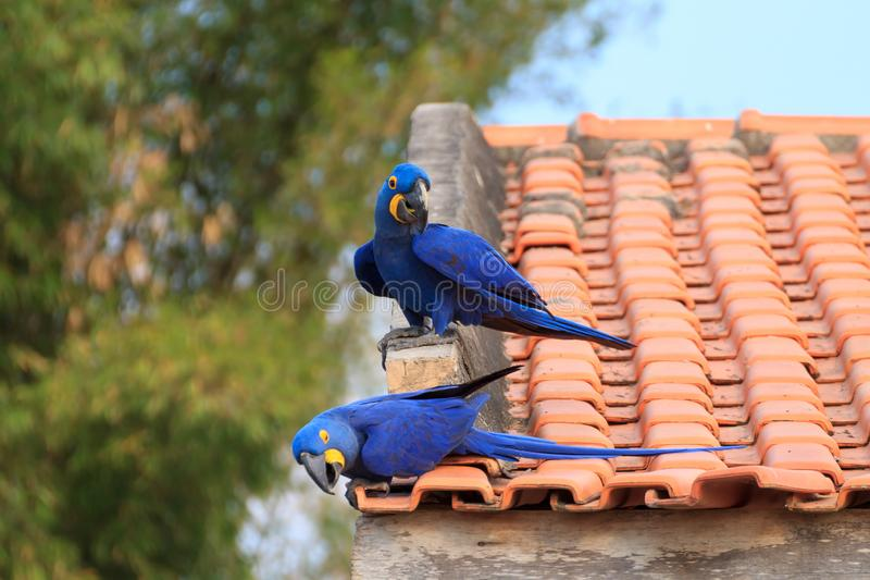 Couple of Hyacinth macaw, Brazilian wildlife. Couple of Hyacinth macaw from Pantanal, Brazil. Brazilian wildlife. Biggest parrot in the world. Anodorhynchus royalty free stock photo