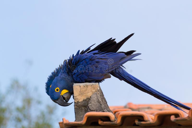 Couple of Hyacinth macaw, Brazilian wildlife. Couple of Hyacinth macaw from Pantanal, Brazil. Brazilian wildlife. Biggest parrot in the world. Anodorhynchus royalty free stock images