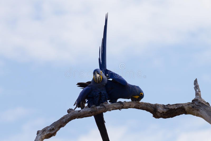 Couple of Hyacinth macaw, Brazilian wildlife stock photography