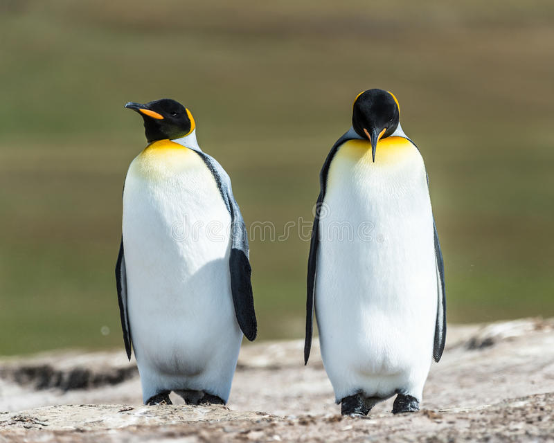 Download Couple Of The KIng Penguins. Stock Image - Image: 31775729