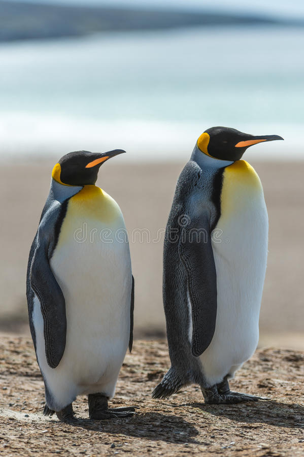 Download Couple Of The KIng Penguins. Stock Photo - Image: 31775576