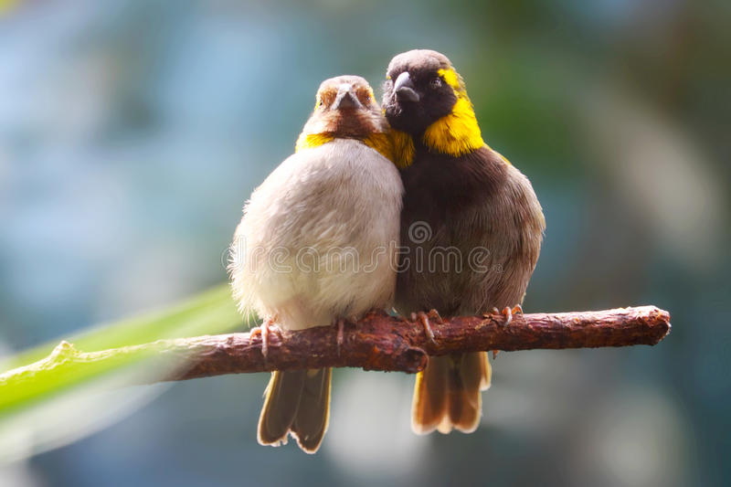 A couple of kissing cuban grassquits birds sitting side by side on a branch in the sun royalty free stock images
