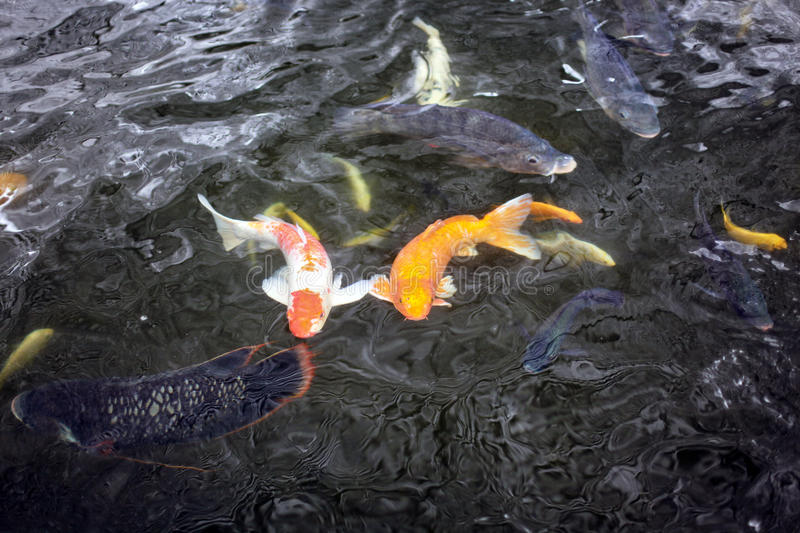 Couple of koi fish swimming in the pond stock image for Golden ornamental pond fish crossword