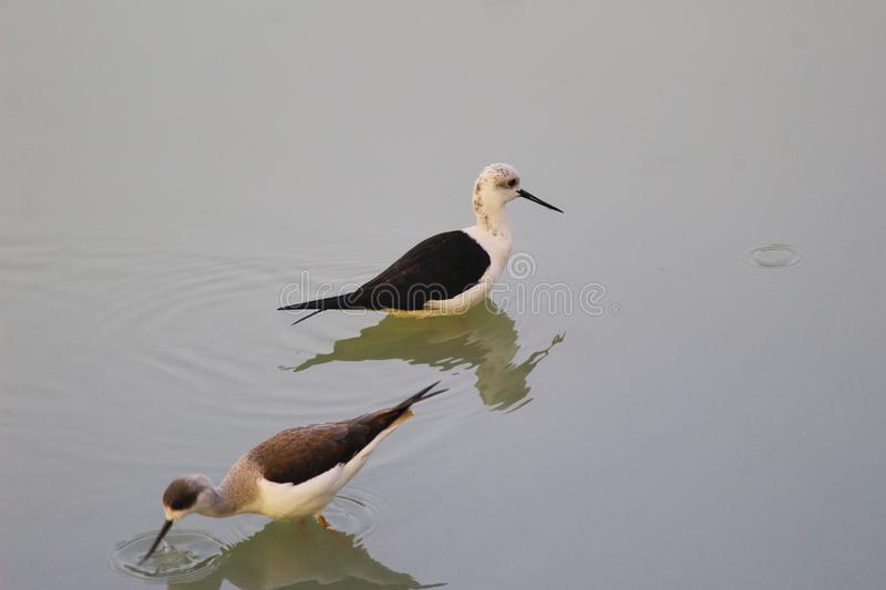 A couple of lapwing. royalty free stock photography