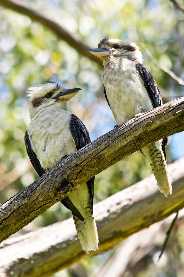 A couple of Laughing Kookaburra standing on the Twig. In Austral royalty free stock images