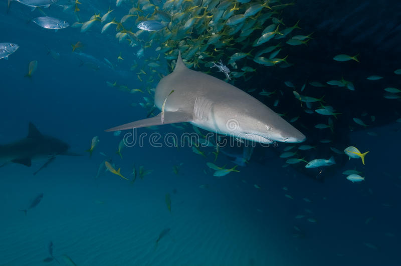 A couple of lemons sharks amongst a school of fish stock images