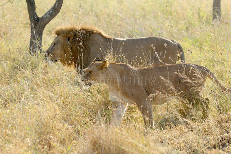 Couple of lion and lioness walking in savannah stock photo