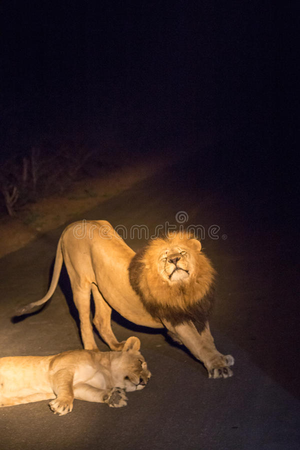 Couple of Lions Flirting on Road by Night in Kruger Park, South Africa royalty free stock image