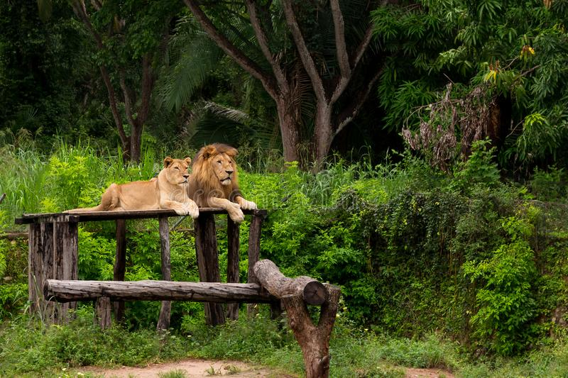Couple of lions stock photography