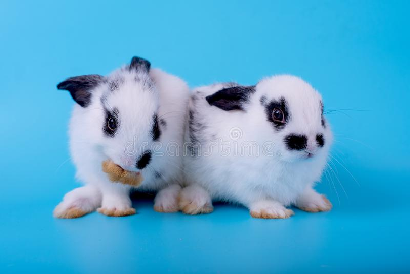 Couple of little black and white bunny rabbit with different actions on blue background.  royalty free stock images