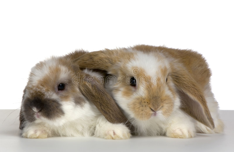 Download Couple of Lop Rabbit stock image. Image of lying, watching - 2314339