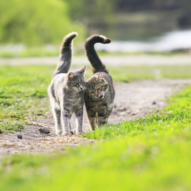 couple in love beautiful striped cats are side by side on a gr royalty free stock images