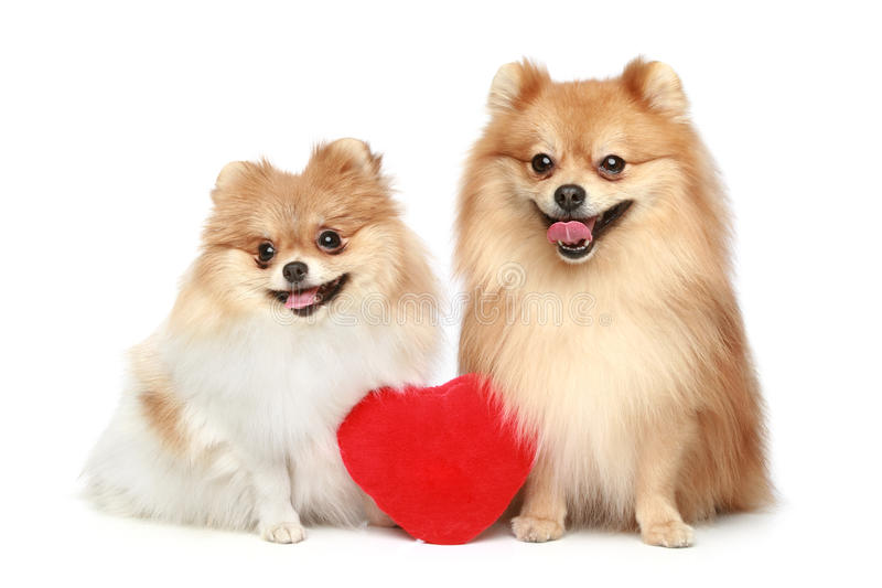 Couple in love Spitz puppies on white background. Couple in love Spitz puppies with red heart on a white background royalty free stock image